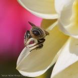 IMG_5287, Megachile