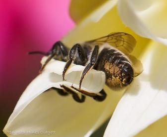 IMG_5292, Megachile