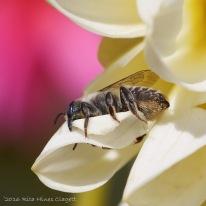 IMG_5296, Megachile
