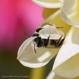 IMG_5299, Megachile