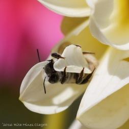 IMG_5301, Megachile