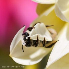 IMG_5302, Megachile