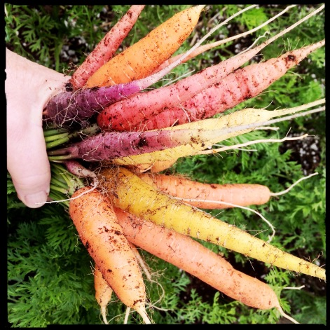 All those carrot rows I planted in April? Giving me rainbows all summer.