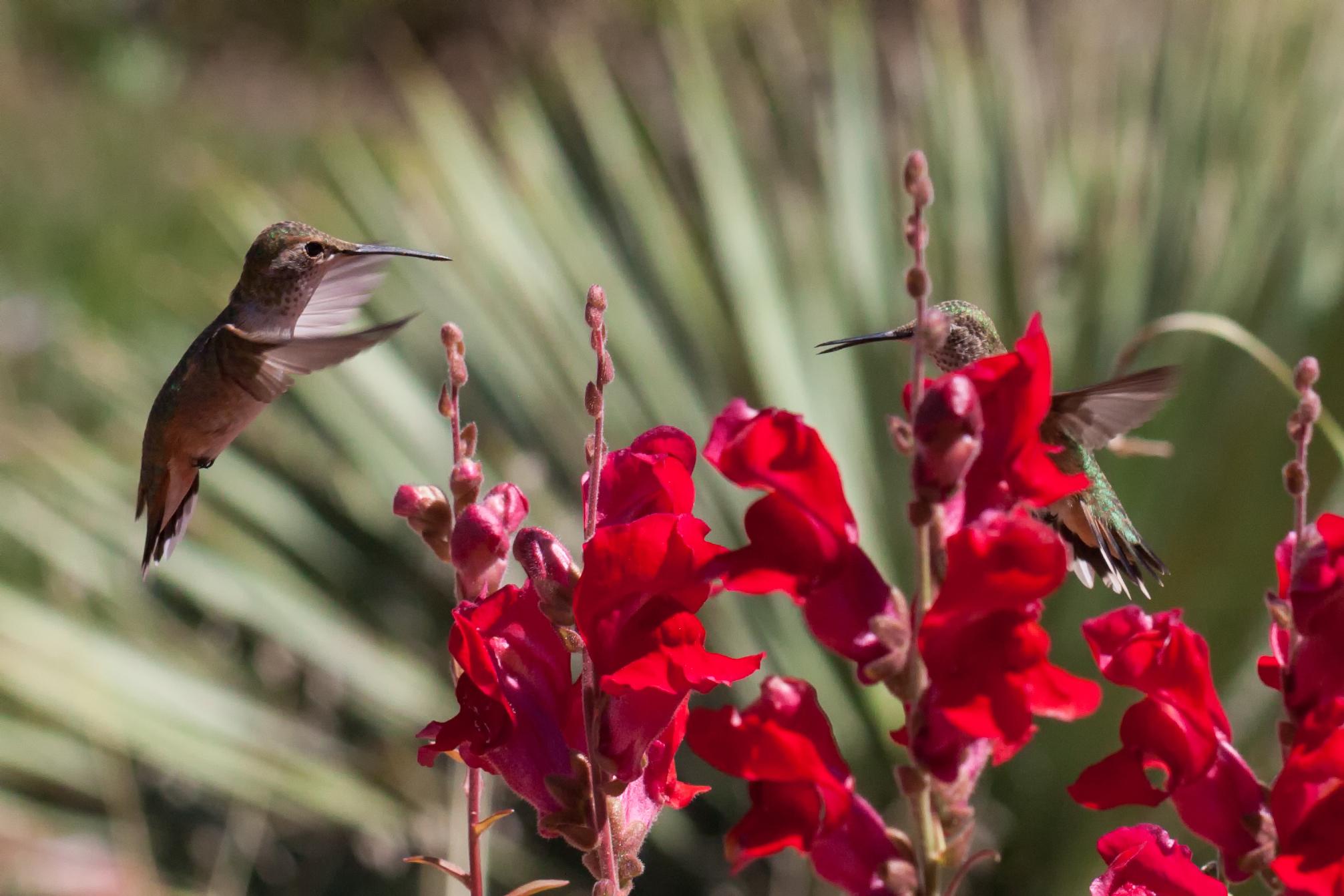 Hummingbird-38