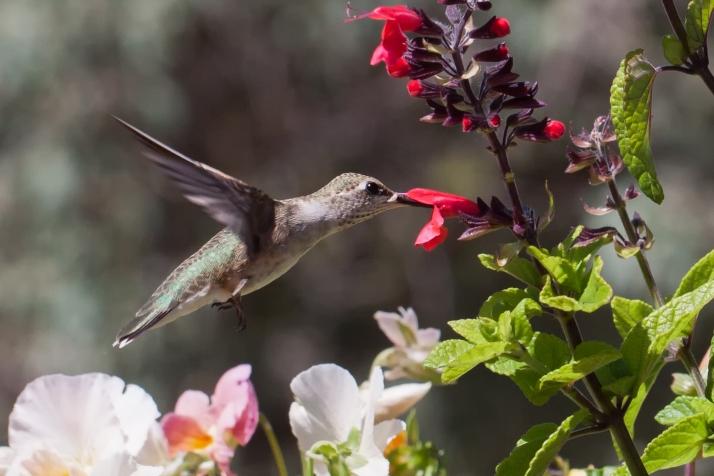 Hummingbird-40