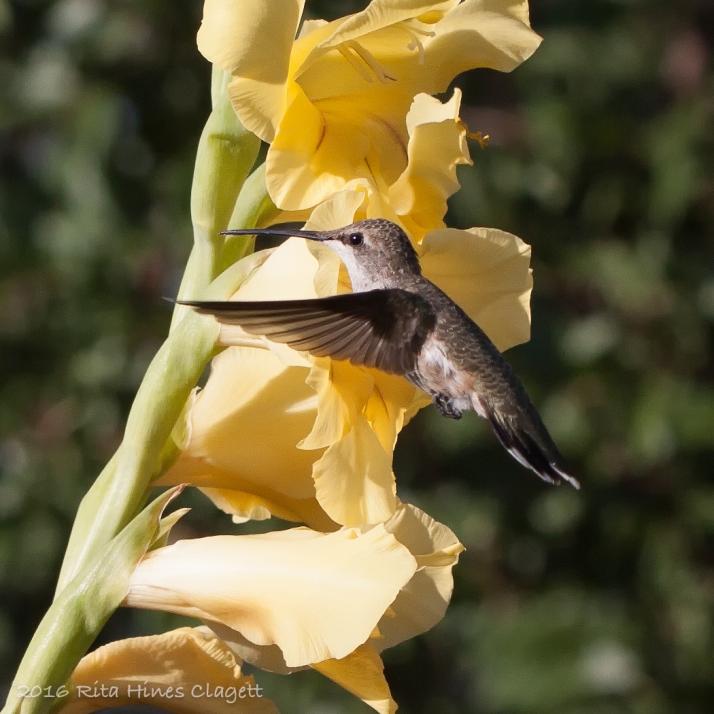Hummingbird-55