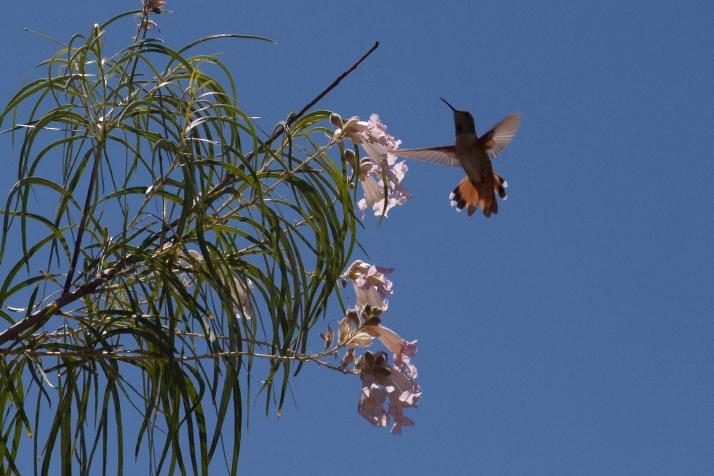 Hummingbird-8857