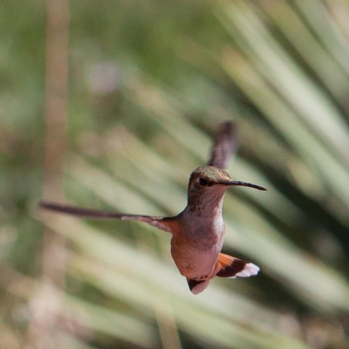Hummingbird-9311