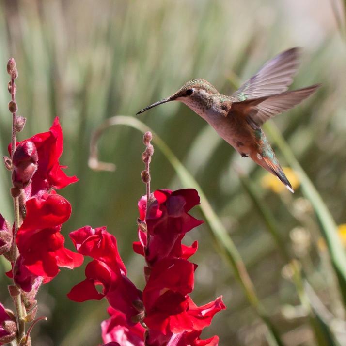 Hummingbird-9321