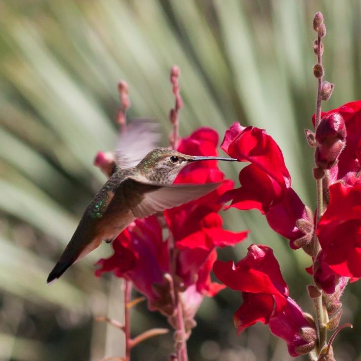 Hummingbird-9325