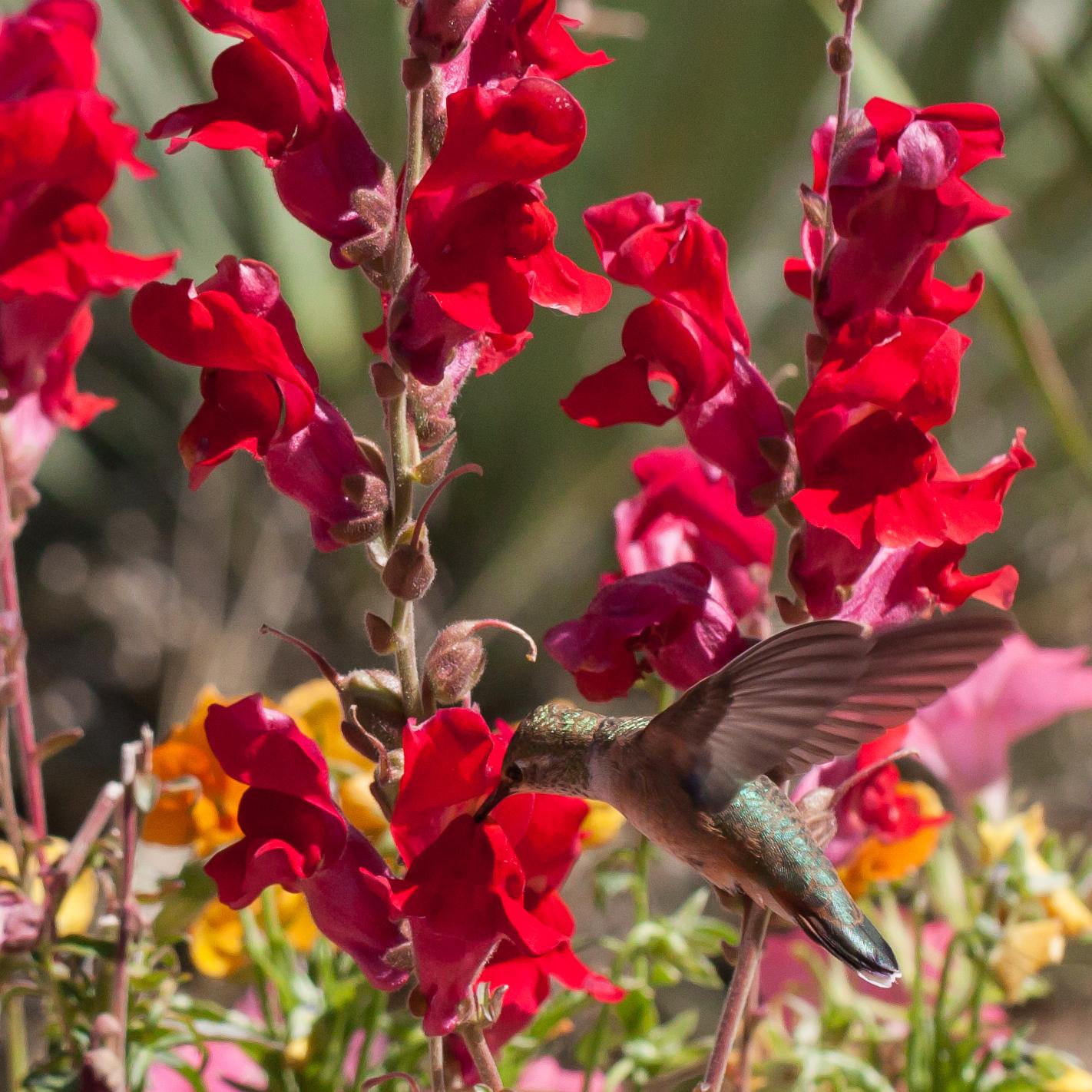 Hummingbird-9333