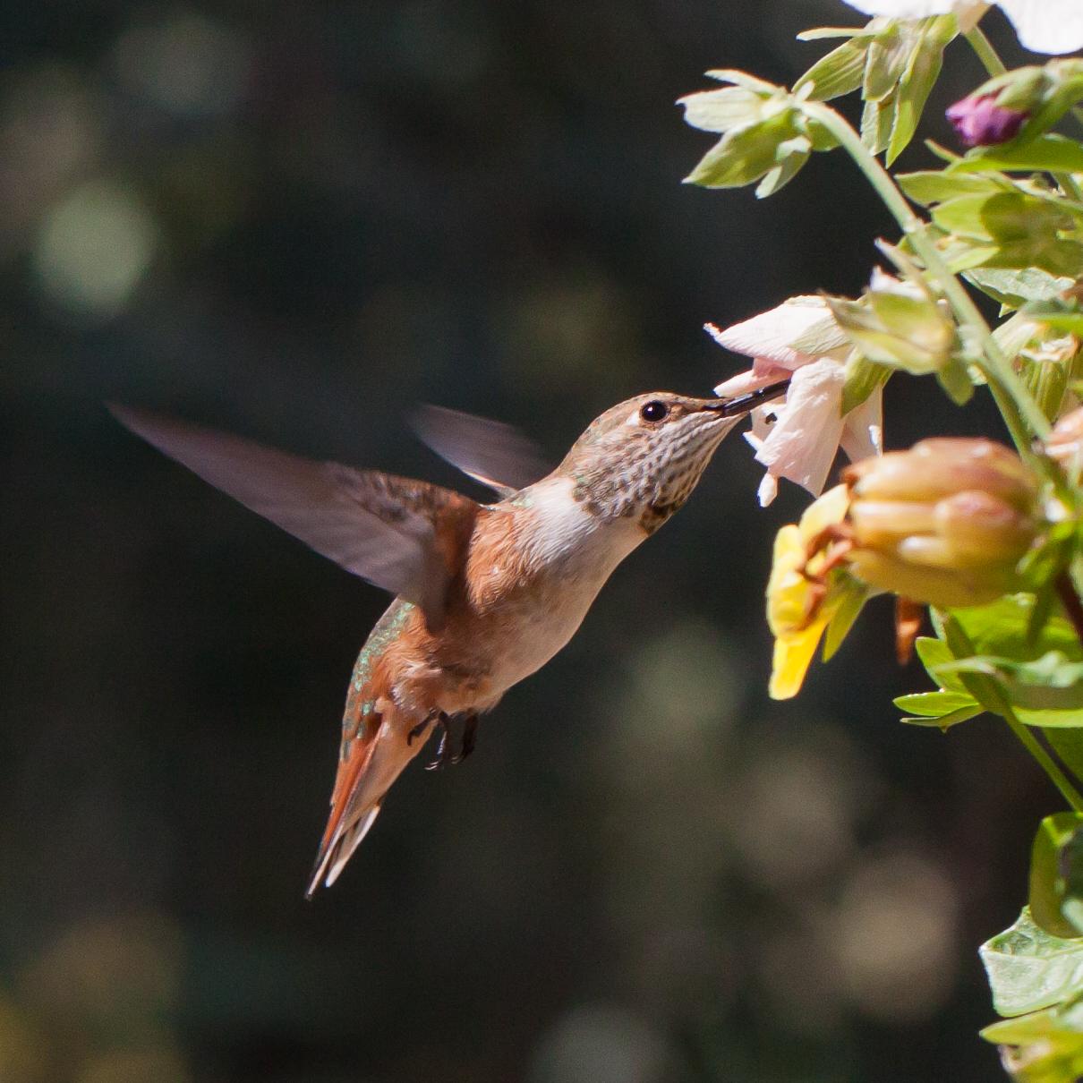 Hummingbird-9360