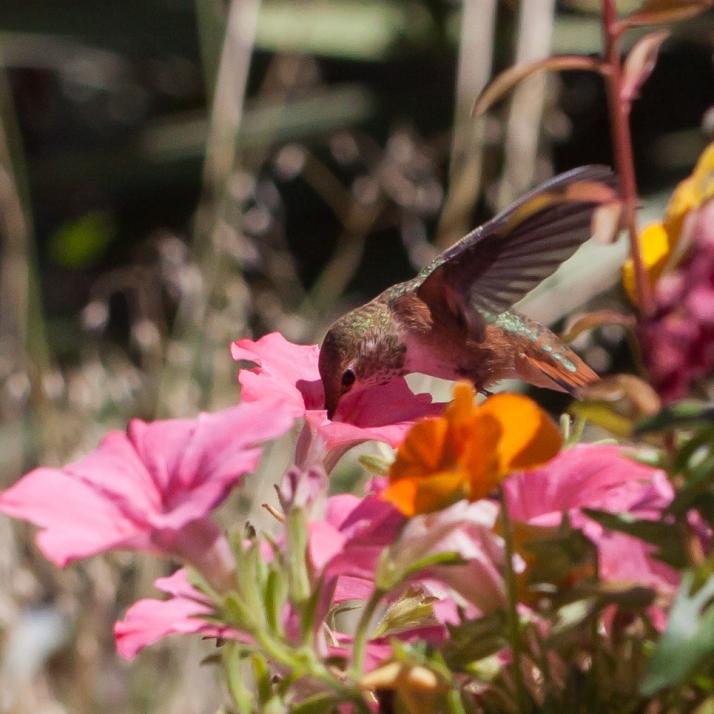 Hummingbird-9373