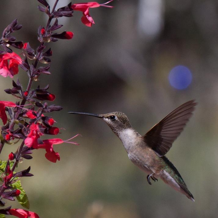 Hummingbird-9606