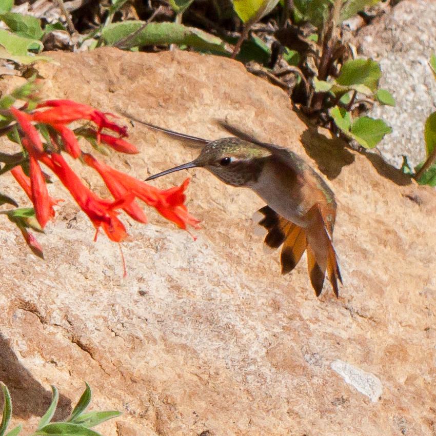 Hummingbird-9669