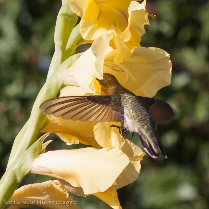 Hummingbird-9769