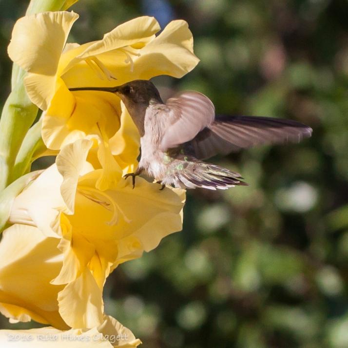 Hummingbird-9781