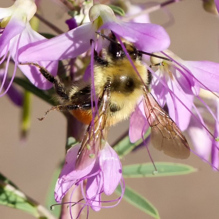 Pollinator-65