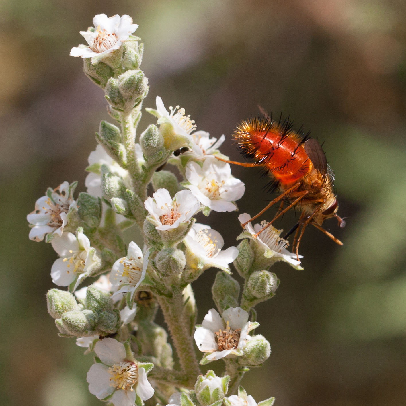 Pollinator-8945