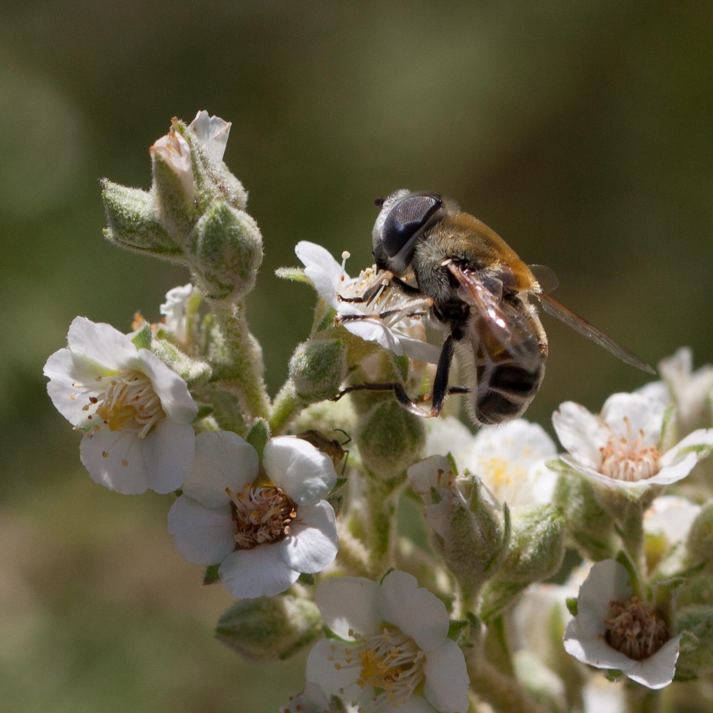 Pollinator-8951