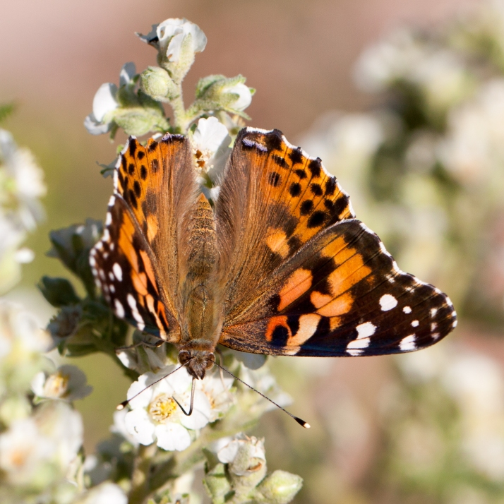 Pollinator-9048