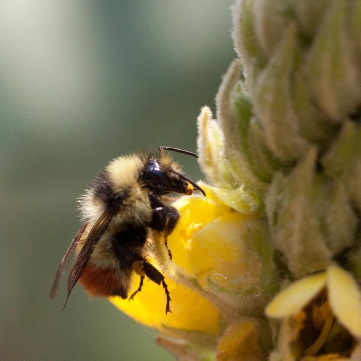 Pollinator-9089