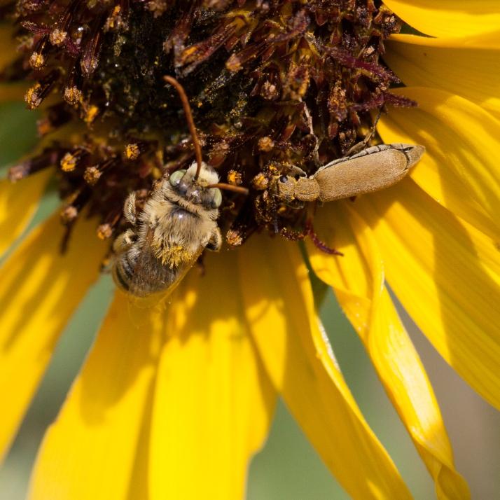 Pollinator-9185