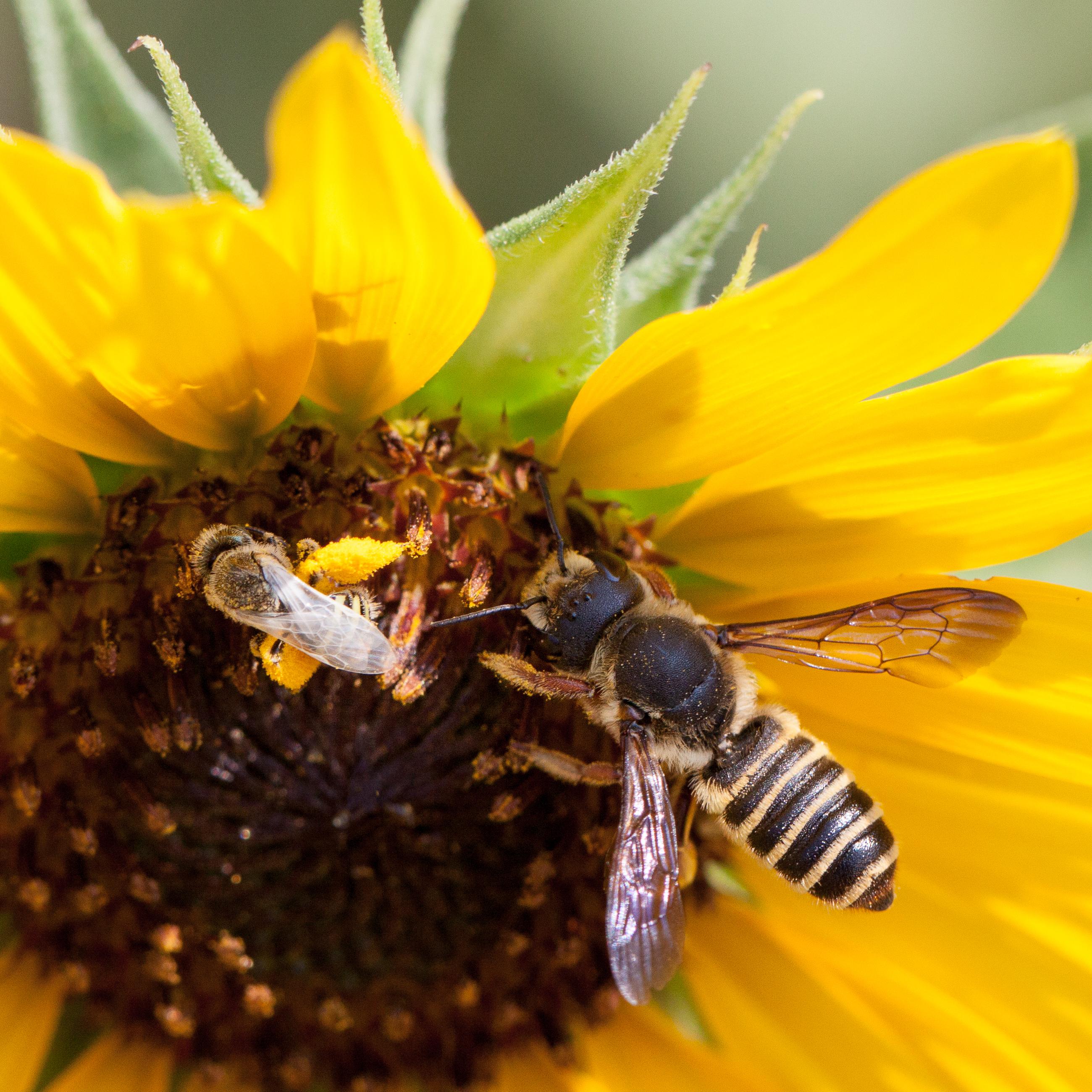 Pollinator-9215