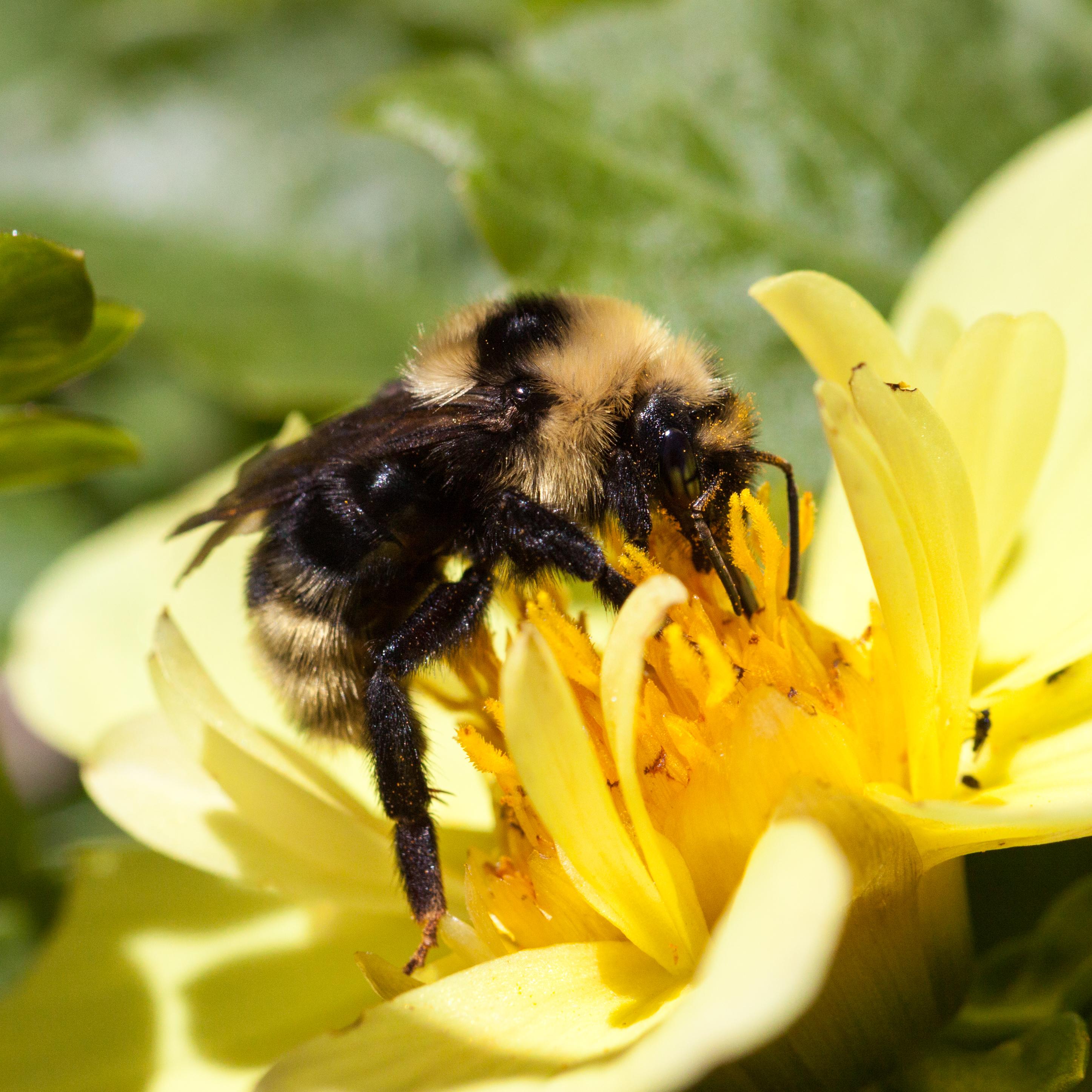 Pollinator-9547